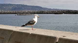 Closeup of seagull standing on wall by ocean and mountains