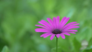 Closeup of single purple flower surrounded by green plants 2