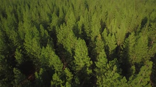 Drone shot of green tree tops in Oregon forest