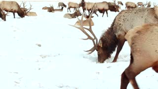Moose graze in snow by mountainside