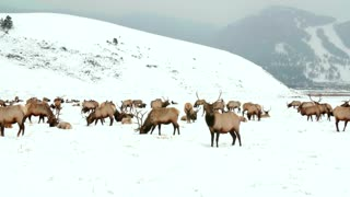 Moose graze in the snow by a mountain 2