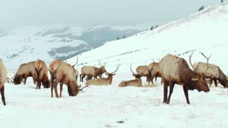 Moose rest in the snow by a mountain