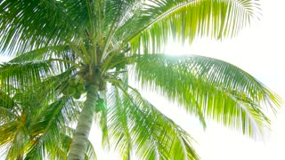 Tropical palm tree with coconuts and sun flare