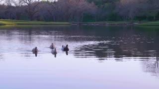 Ducks swimming across Pond