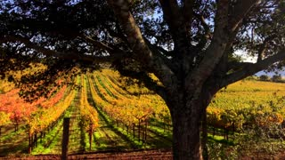 Golden Vineyards of Napa by Aerial Drone