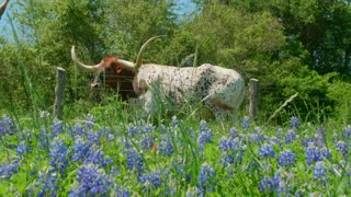 Longhorn Bull Grazes by a Fence and Bluebonnet Flowers