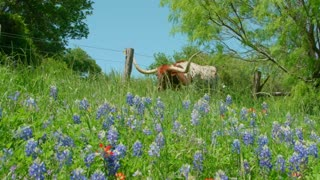 Longhorn Bull Walks Past a Fence and Bluebonnet Flowers