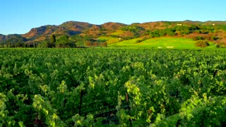 Lush Green Vineyards of Napa by Aerial Drone