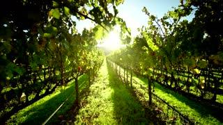 Napa Valley Vineyard at Sunset Tracking Shot
