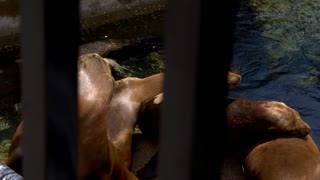 Sea Lions by the Water Tracking Shot