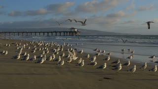 Seagulls on LA Beach at Sunset Tracking Shot