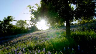 Sun Shines on a Tree and Field of Bluebonnet Flowers
