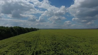 Aerial Panoramic view. Over a Field of Sunflowers in the south UHD