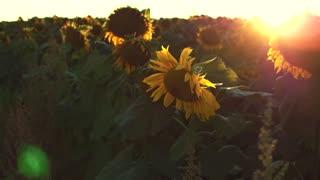 Beautiful Sunflower Field on Sunset in 4 UltraHD