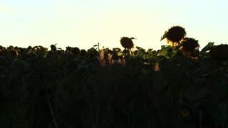 Field of Sunflowers in Sun