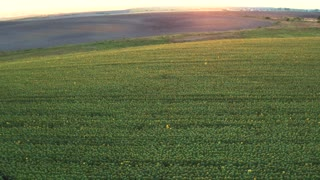Over a Field of Sunflowers at golden sunset, aerial panoramic view. UHD