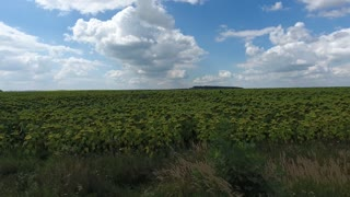 Over a Field of Sunflowers in the south, Aerial Panoramic view. UHD