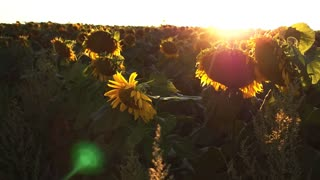 Sunflower in motion. Steady footage . Slow Motion