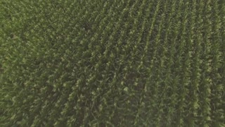 The Flight Over a Field of Corn 4k qality