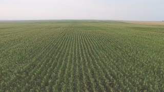 The Flight Over a Field of Corn. Aerial video