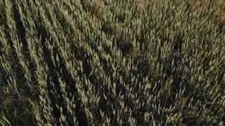 Flight over barley field at sunrise