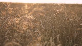 Golden Wheat Fields is Ripe