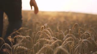 Man Touching Wheat Spikes at Sunset