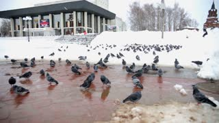 Pigeons eating bread. Pigeons eating bread on city street Russia winter