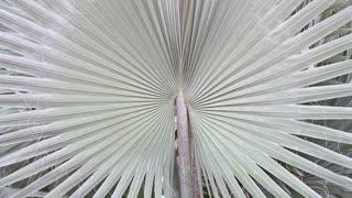 Fan Palm (Chamaerops Humilis) in thailand