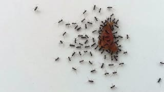 time lapse black ants working, carrying provisions for their nests. Teamwork concept.
