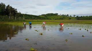 Time lapse Thai farmers rice planting working in the field