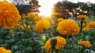 4K : Beautiful Marigold flowers in the field during sunset with sunlight, Pan shot