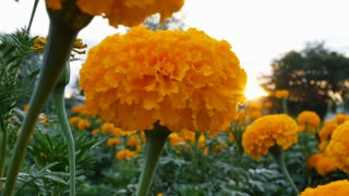 4K : Beautiful Marigold flowers in the field during sunset with sunlight, Tilt up shot