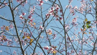 4K : Cherry blossom with blue sky, Spin shot