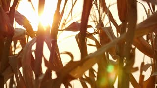 4K : Dried corns with the sun on the wind