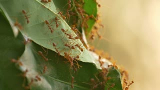 4K of Red ants work as a team to build their nest with tree leafs