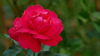 4K Ultra HD : Close up red rose with dew drop