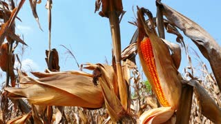 4K Video : Close up yellow dry corn on the field