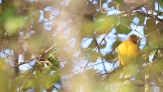 Asian golden weaver bird cleaning his wings over the tree