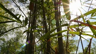 Bamboo forest with sun flare, Pan shot