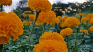 Beautiful Marigold flowers in the field during sunset with sunlight, Pan shot