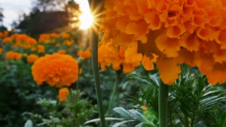 Beautiful Marigold flowers in the field during sunset with sunlight, Tilt up shot shot