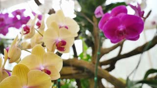 Beautiful Orchid flowers blooming in the garden, Zoom in shot