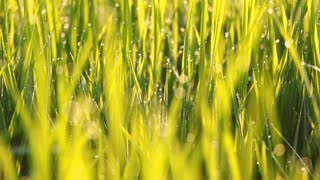 Close up of rice grass with dew in the morning, Pan shot