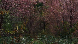 Forest of pink sakura blossoms at Phu Lom Lo mountain, Thailand : tilt up camera