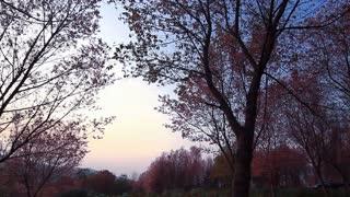 Forest of pink sakura blossoms, Pan camera