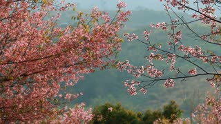 Forest of pink sakura blossoms