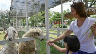 Happy Asian child and her mother feeding sheep in a farm