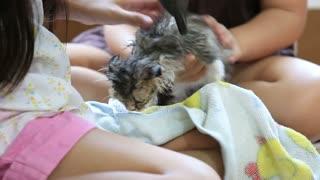Little Asian girls drying Persian kitten in towel after washing