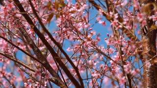 Little bird on branch of pink sakura blossoms